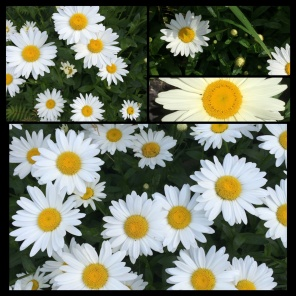New Phototastic Collage Marguerites (2)