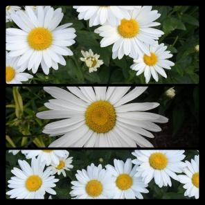 New Phototastic Collage Marguerites