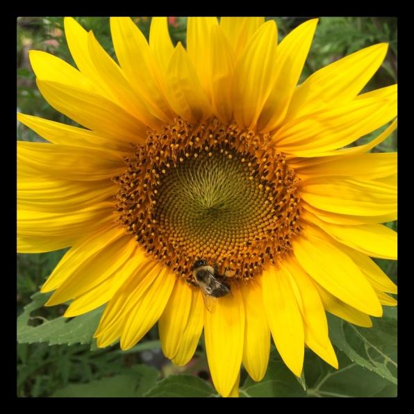 New Phototastic Collage Sun Flower