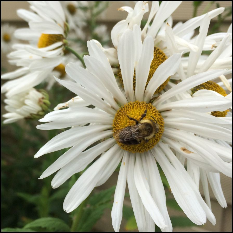 IMG_1485 Copy Bee
